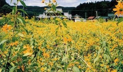 花盛りの菊芋畑(9月中旬)